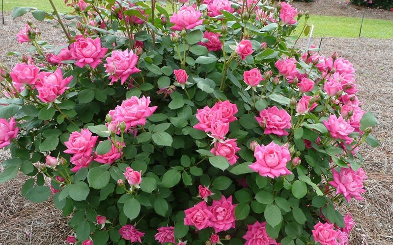 Double Pink Knock Out Rose Photo 2