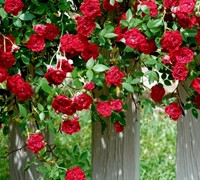 Red Cascade Rose