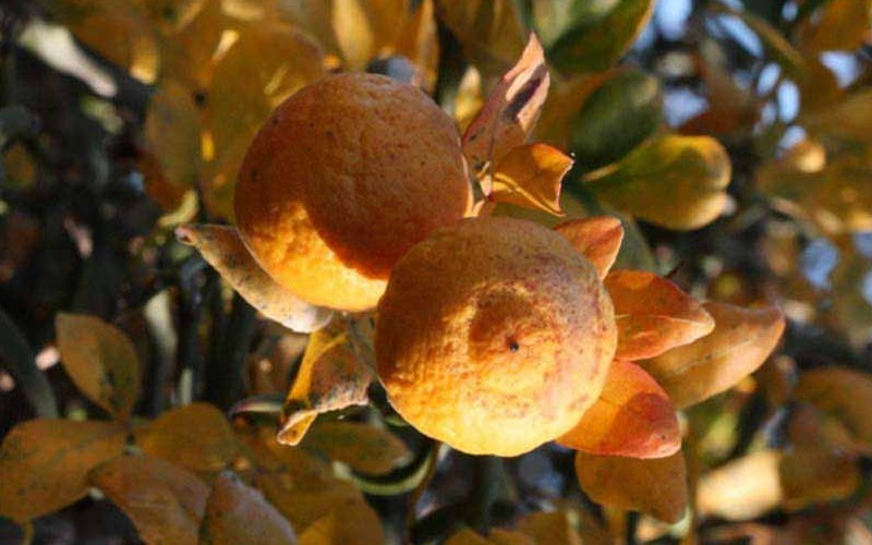 Flying Dragon Hardy Orange - Poncirus trifoliata