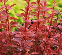 Shop Orange Rocket Barberry - 2.5 Quart