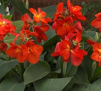 South Pacific Scarlet Canna Lily