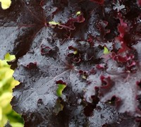Shop Black Beauty Heuchera  - 10 Count Flat - Quarts