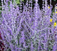 Little Spire Russian Sage