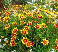 Shop Daybreak Li'l Bang Coreopsis - 1 Gallon