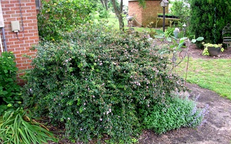 Edward Goucher Abelia - Abelia grandiflora 'Ed Goucher' Photo 5