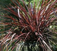 Red Star Cordyline - Cabbage Palm