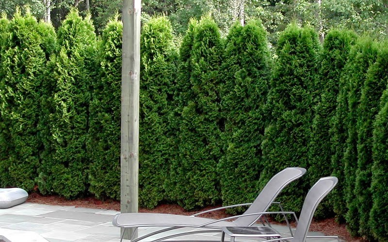 Emerald Green Arborvitae Photo 4