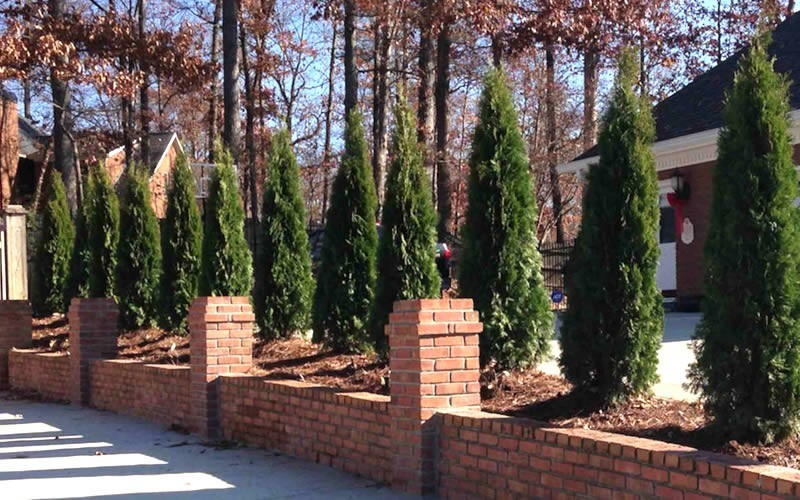Emerald Green Arborvitae Photo 3