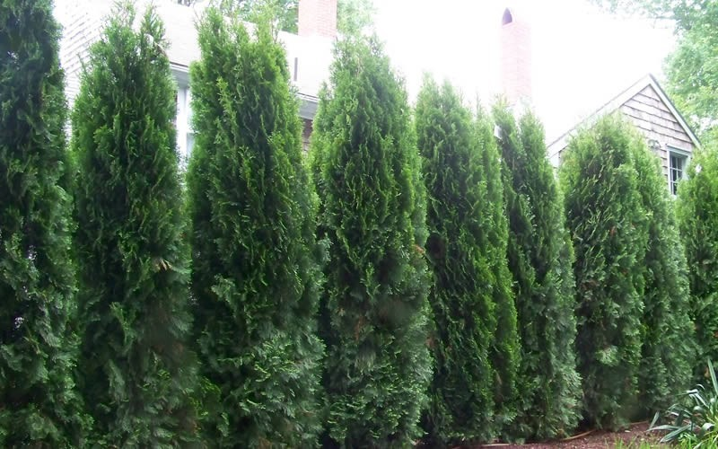 Emerald Green Arborvitae Photo 5
