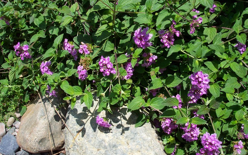 Lantana 'Trailing Lavender' - Hardy Trailing Lantana Photo 3
