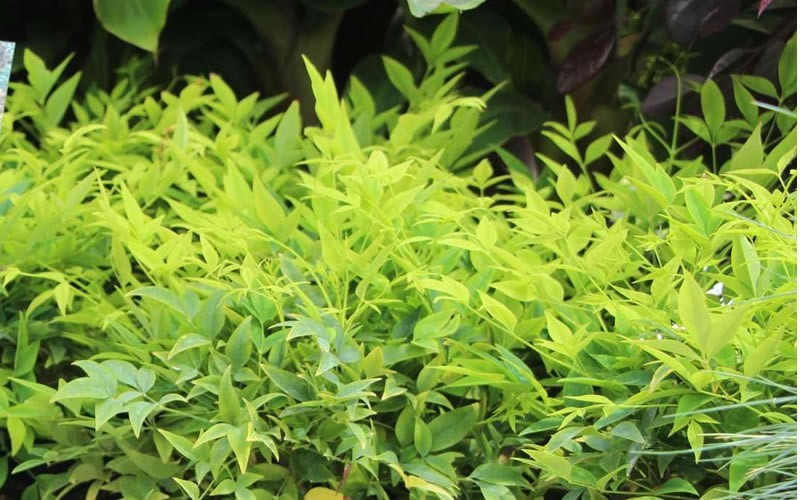 Lemon Lime Nandina - 2.5 Quart - Deer Resistant Shrubs | ToGoGarden