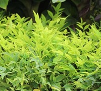 Shop Lemon Lime Nandina - 2 Gallon