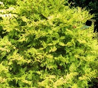 Vintage Gold False Cypress