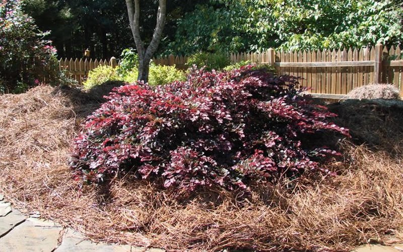 Crimson Fire Dwarf Loropetalum Photo 4