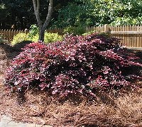Shop Crimson Fire Dwarf Loropetalum - 3 Gallon