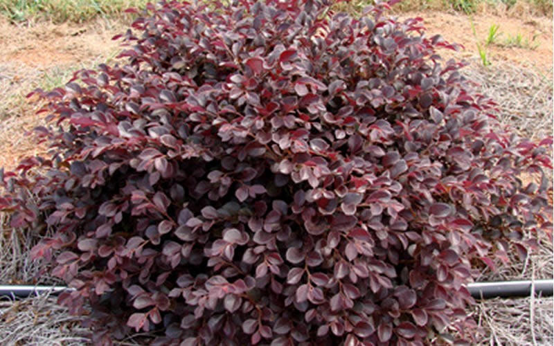 Crimson Fire Dwarf LoropetalumDwarf Loropetalum