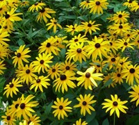 Early Bird Gold Rudbeckia Daisy