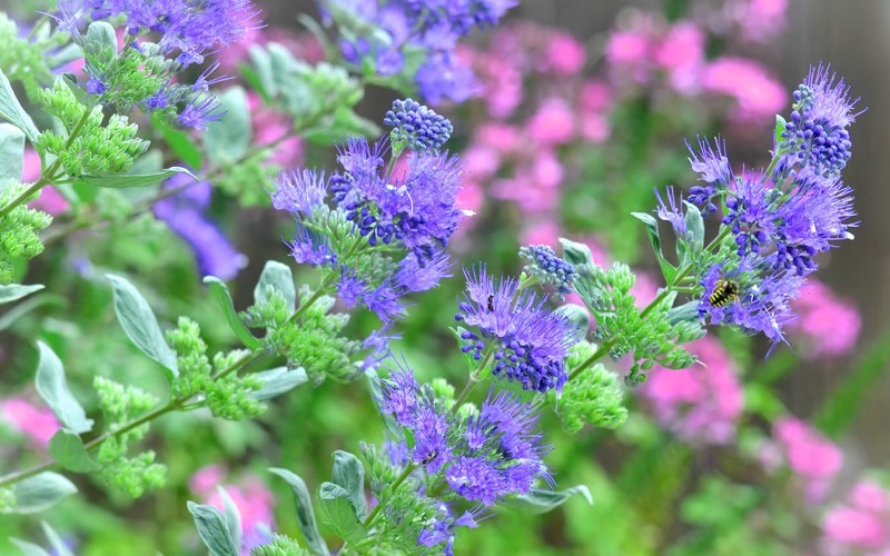 Longwood Blue Caryopteris - Blue Mist Shrub
