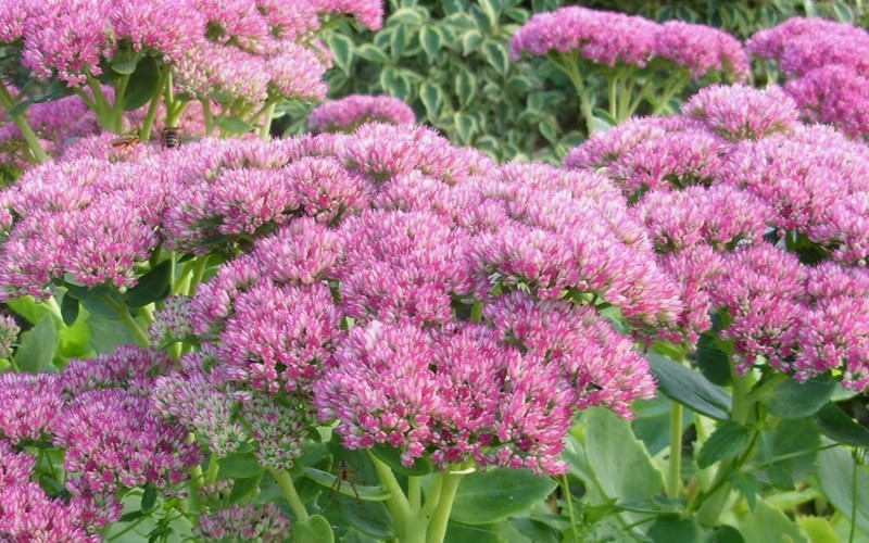 Autumn Joy Sedum - Stonecrop - 1 Gallon - Sedums | ToGoGarden