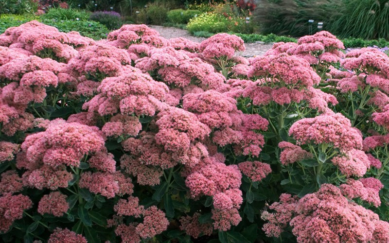Autumn Joy Sedum - Stonecrop Photo 4