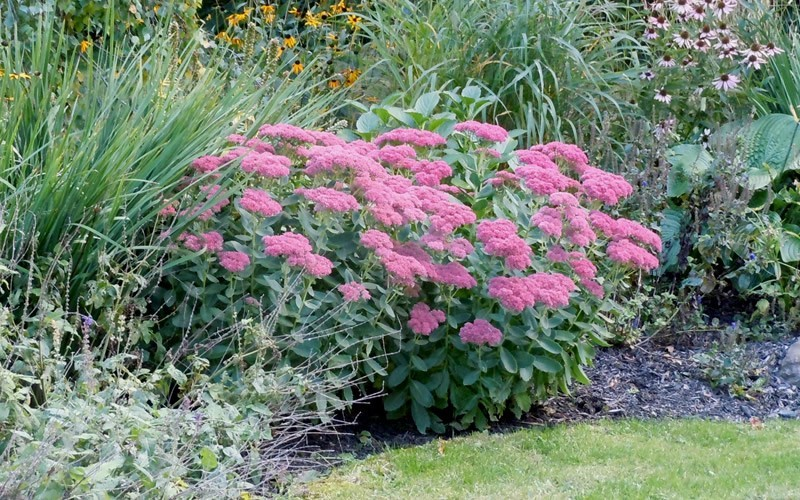 Autumn Joy Sedum - Stonecrop Photo 5
