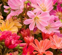 Rainbow Mix Lewisia