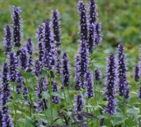 Black Adder Hummingbird Mint - Agastache