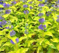 Hint of Gold Caryopteris - Golden Blue Mist Shrub