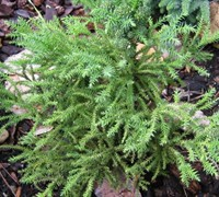Yellow Twig Japanese Cedar