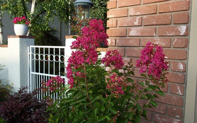 Ruby Dazzle Dwarf Crape Myrtle Photo 2