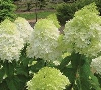 Shop Limelight Hydrangea - Hydrangea paniculata 'Limelight' - 2 Gallon