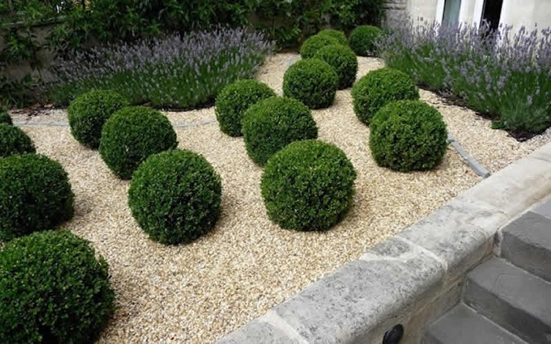 Baby Gem Boxwood - 2.5 Quart - Boxwood Shrubs | ToGoGarden