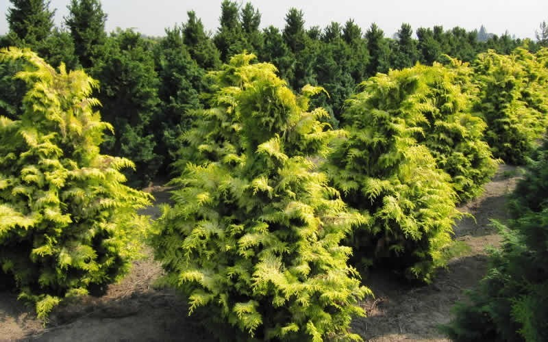 Crippsii Golden Hinoki Cypress - 1 Gallon - Deer Resistant Trees | ToGoGarden