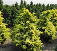 Shop Crippsii Golden Hinoki Cypress - 1 Gallon