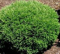 Shop Mr. Bowling Ball Arborvitae - 3 Gallon