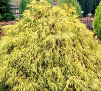 Paul's Gold Threadleaf False Cypress