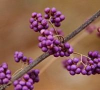 Early Amethyst American Beautyberry