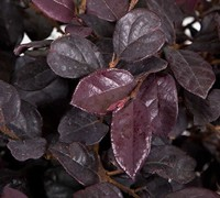 Shop Red Diamond Loropetalum - 2.5 Quart