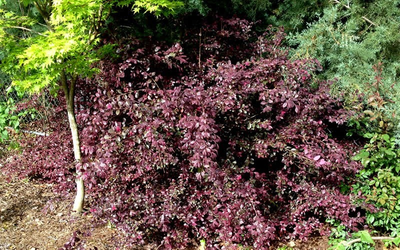 Red Diamond Loropetalum Photo 3