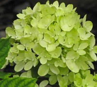 Shop Little Lime Hydrangea - 2 Gallon