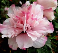 Peppermint Smoothie Althea™ PP26551- Rose of Sharon