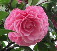 Cile Mitchell Camellia Hybrid