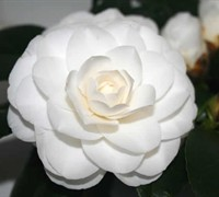 White By The Gate Camellia Japonica
