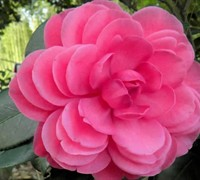 Early Autumn Camellia