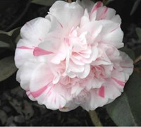 Esther Smith Camellia Japonica