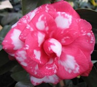 William Forest Bray Camellia Japonica