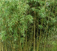 Incense Bamboo