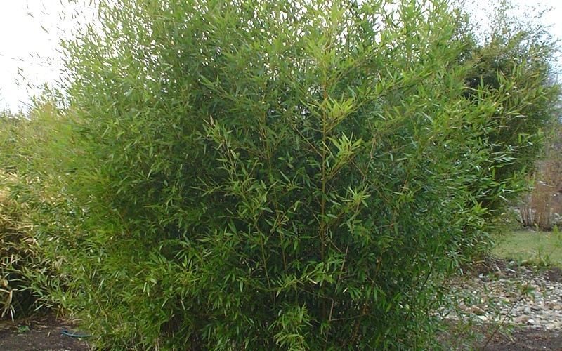 buy dwarf bisset bamboo 2 gallon bamboo grasses buy plants online. Black Bedroom Furniture Sets. Home Design Ideas