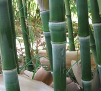 Solid Stem Bamboo