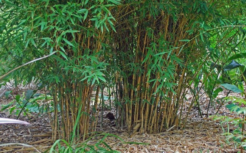 buy koi golden bamboo 3 gallon bamboo grasses buy plants online. Black Bedroom Furniture Sets. Home Design Ideas